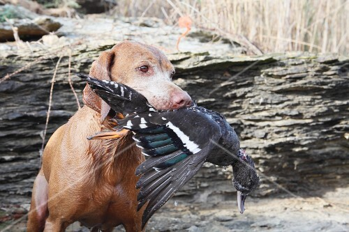 A hound with a duck