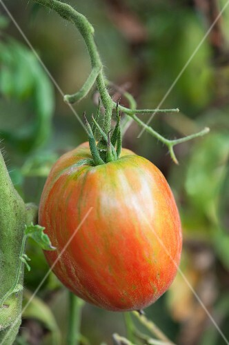 A tomato on a plant (close-up)