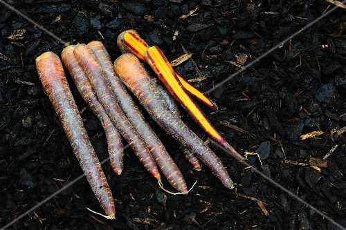 Ancient carrots in a bed