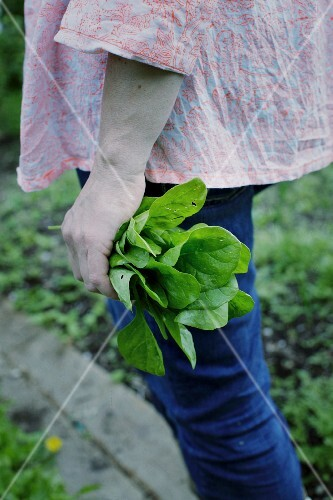 A hand holding freshly harvested spinach