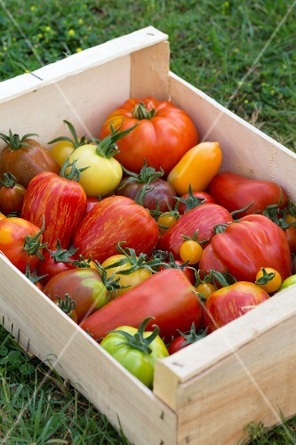 Heirloom tomatoes in a crate on grass
