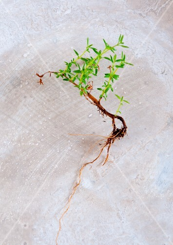 Fresh thyme with roots