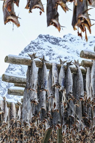 Codfish drying in the cool air and sunshine in the Lofoten Islands, Arctic, Norway, Scandinavia, Europe