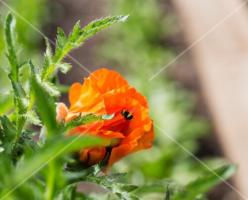 A bumblebee flying into an orange cress flower
