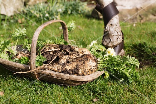 Freshly harvested parsley root in a wooden basket in a garden