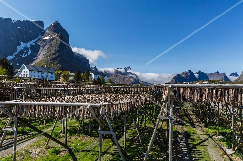 Cod drying on large wooden frames against the magnificent mountain backdrop of the Lofoten Isles, Norway