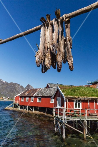 Cod drying on a wooden stake, Lofoten Isles, Norway