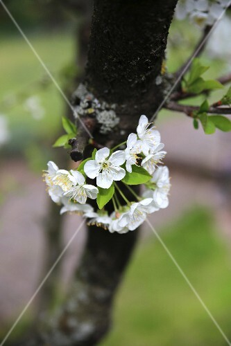 Cherry blossom (sour cherries) on a tree trunk
