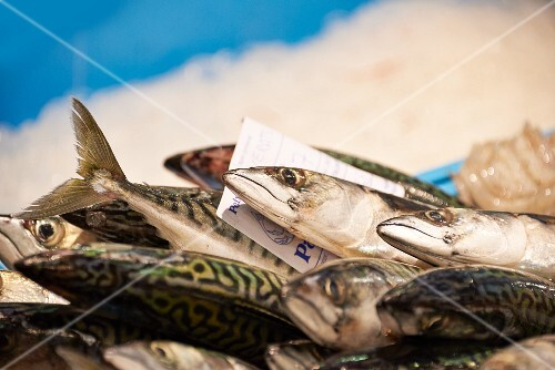 Fresh mackerel in a crate of ice