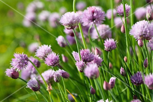 Flowering chives in a garden (close-up)