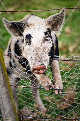 A young pig hanging over a fence