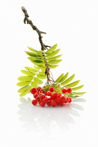 A sprig of rowan berries on a white surface