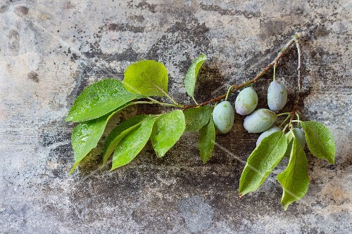 A sprig of leaves and unripe green plums