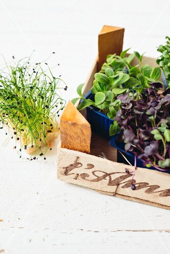 Various fresh sprouting herbs in a crate