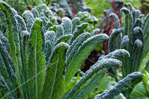 Palm kale covered with dew in a vegetable patch