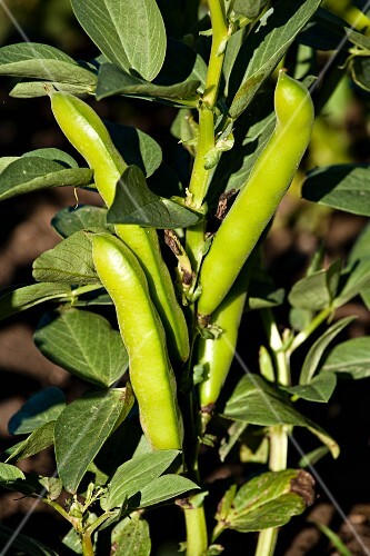 Broad beans on a plant