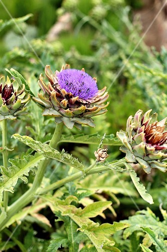 A flowering artichoke plant in a garden