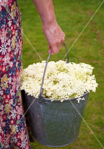 Bucket of elderflowers