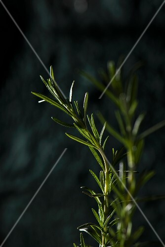 Rosemary (close-up)