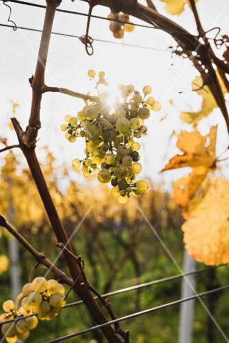 Ripe wine grapes backlit