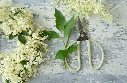 Elderflowers and scissors for making an elder wreath