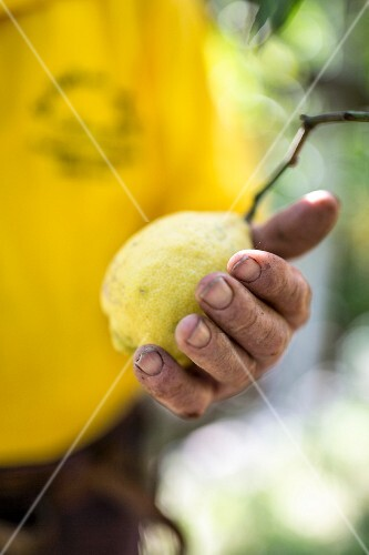 A hand holding a freshly picked lemon