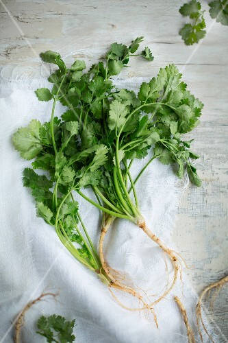 Coriander with roots on a linen cloth on a vintage wooden surface