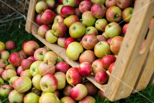 Freshly harvested apples falling out of a wooden crate