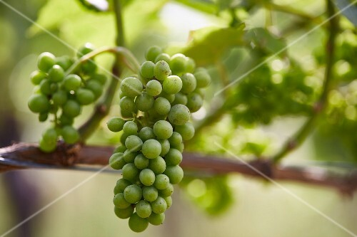 Grapes on a vine (close-up)