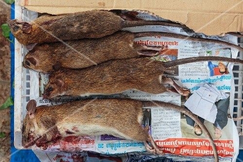Rice paddy rats on a piece of newspaper at a market in Vientiane, Laos