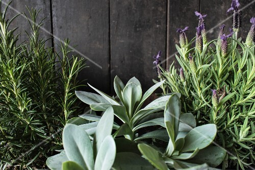 Lavender and rosemary against a wooden wall
