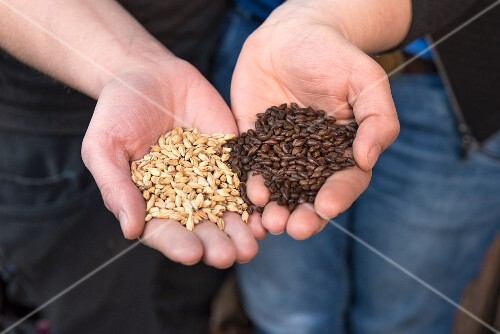 Hands holding two types of malt