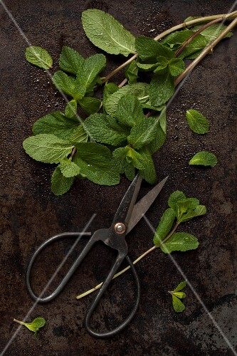 Fresh mint with herb scissors