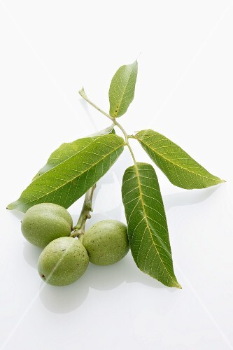 Walnuts on twig with leaves