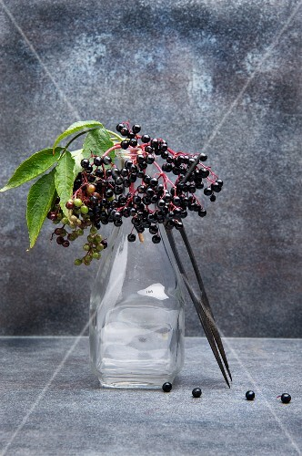 Sprigs of elderberries in a glass vase