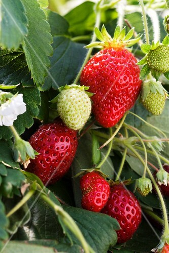 Ripe and Unripe Strawberries on the Plant