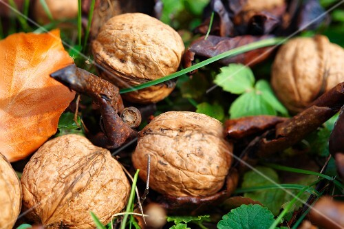 Fresh walnuts under a tree