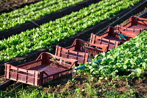 Crates in a lettuce field