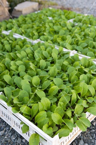 Lettuce seedlings in crates