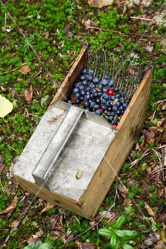 Blueberry and lingon berries in a harvesting basket