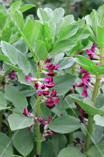 Fava bean plants with flowers