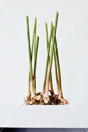 Young galangal with shoots