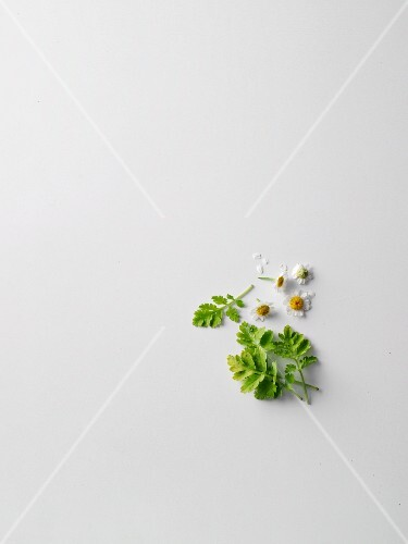 Feverfew flowers and leaves