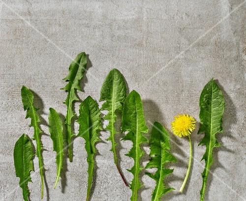 Fresh dandelion leaves and a flower on grey stone surface