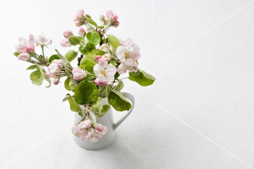 Twigs of apple blossom in jug against white background