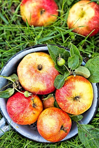 Freshly picked apples on grass