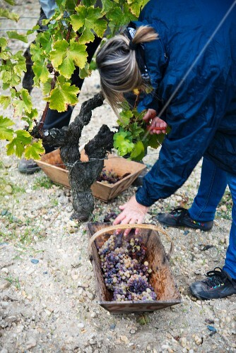 Chateau D'Yquem, grapes being picked with small wooden baskets
