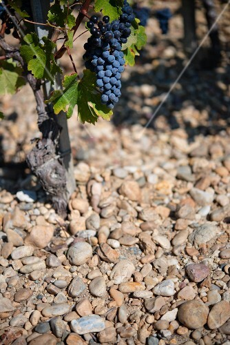 A Cabernet-Sauvignon vine on gravel in Medoc