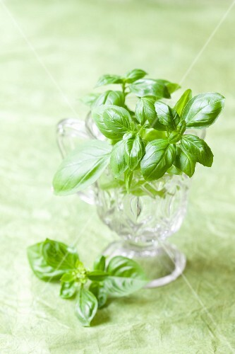 Sprigs of fresh basil in a glass