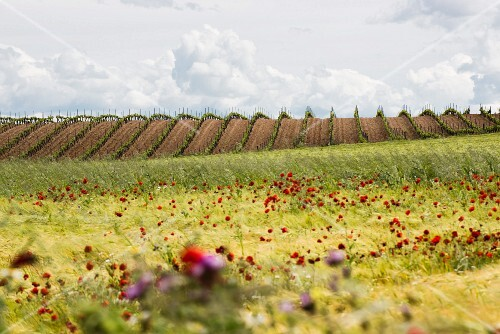 Springtime in the wine growing region of Rueda, Spain: bare vineyards surrounded by wild flowers